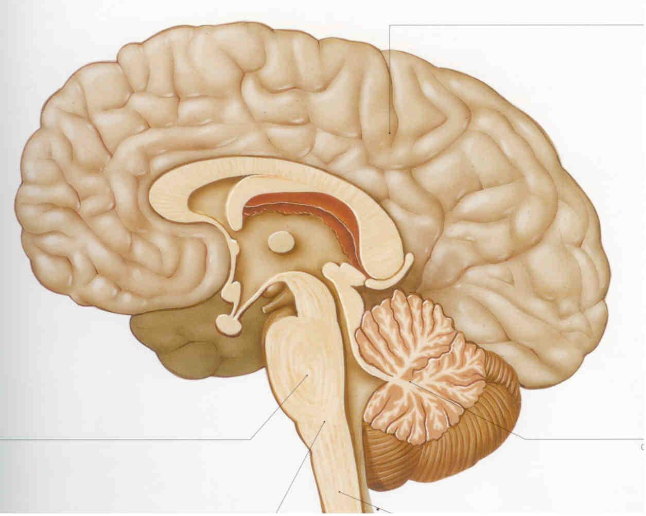 מבנה מוח האדם