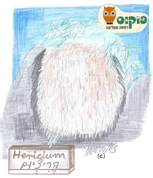 פטריית הריציום | Hericium | מרכיב עיקרי בפורמולת סאן סין
