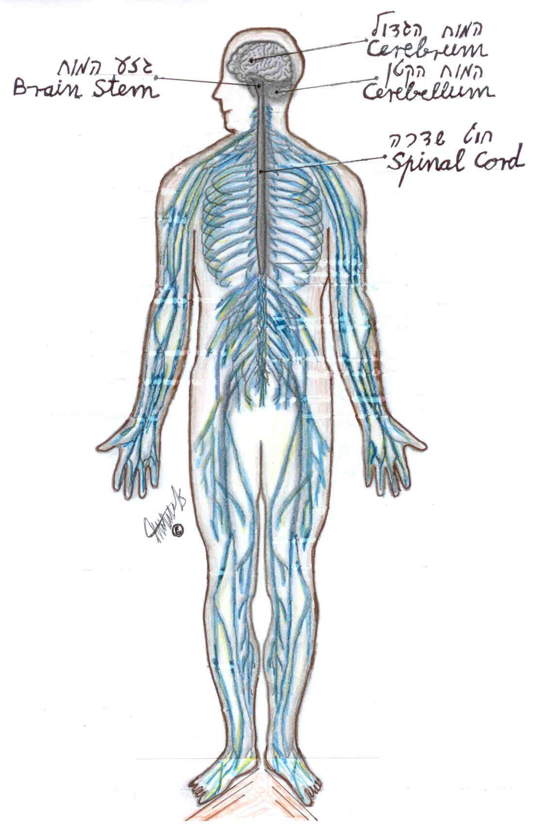 חוט שדרה מעביר את העצבים מהמוח לכל גופנו. אם מוחנו תקין ובגופנו עמוד שדרה עם מבנה אנטומי תקין קרוב לוודאי שמערכת העצבים הפריפריאלית תעבוד כראוי.