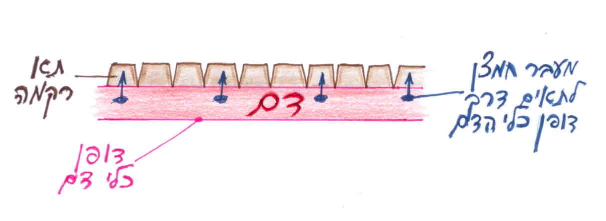 מעבר תקין של חמצן דרך דופן כלי דם